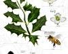 Illex aquifolium NorArte Scientific illustrations Asensio