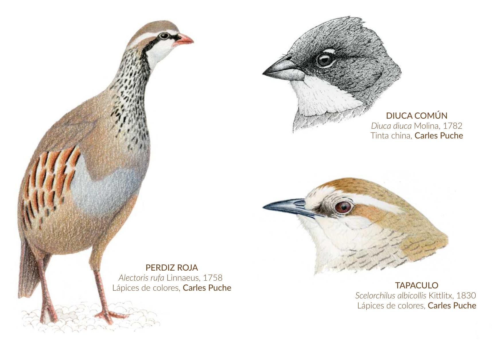 Ejercicios curso Ilustrando Aves con Carles Puche. Lápices de colores y tinta china